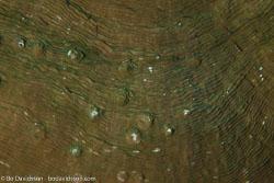 BD-130713-Maldives-0343-Pachyseris-sp.-Milne-Edwards---Haime.-1849-[Serpent-coral].jpg